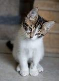 Fundersam kattunge Arkivfoto