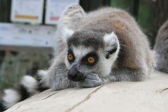 fundersam lemur Arkivbilder