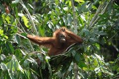 fundersam orangutan arkivbilder