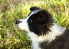 Fundersamma border collie Arkivbilder
