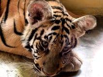 Fundersamt behandla som ett barn tigern mediterar i hans bur Fotografering för Bildbyråer