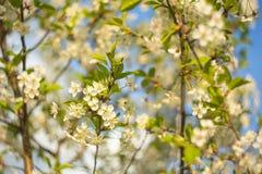 Fundo abstrato com flor de cerejeira bonita em um dia de mola ensolarado imagens de stock royalty free