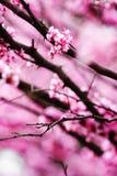Fundo abstrato da flor do redbud. imagens de stock royalty free