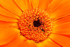 Fundo abstrato da laranja da flor Fotos de Stock Royalty Free