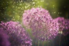 Fundo abstrato da natureza Foto macro da flor do alium com bokeh imagens de stock