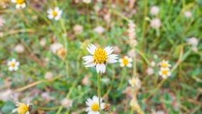 Fundo abstrato das flores brancas Imagens de Stock