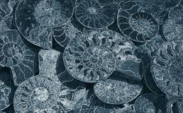 Fundo abstrato de amonites fósseis, papel de parede decorativo de escudos hirtos de medo, cópia das espirais brancas das conchas  fotografia de stock