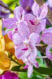 Fundo abstrato de orquídeas coloridas de Vanda Imagem de Stock