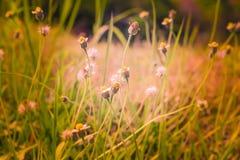 Fundo abstrato falado sem pensar e grama da flor, luz solar do campo e Foto de Stock