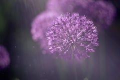 fundo abstrato mágico da natureza com macro da flor do alium Foco macio Efeito da luz do arco-íris fotos de stock royalty free