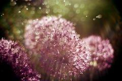 fundo abstrato mágico da natureza com macro da flor do alium Foco macio Efeito da luz do arco-íris imagem de stock royalty free