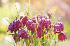 Fundo adiantado da flor da mola Foto de Stock Royalty Free