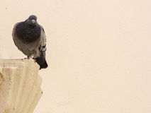Fundo agradável do pombo Fotografia de Stock