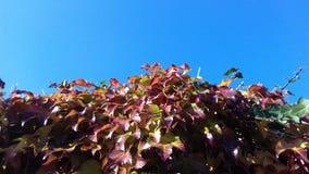 Fundo alaranjado do céu azul da planta das folhas de outono Fotos de Stock