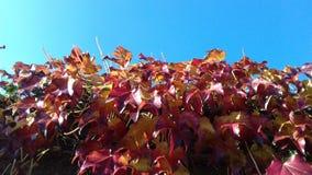 Fundo alaranjado do céu azul da planta das folhas de outono Imagem de Stock
