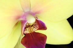 Fundo amarelo bonito do botão da flor da orquídea Fotografia de Stock