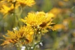 Fundo amarelo brilhante da flor Fotos de Stock Royalty Free