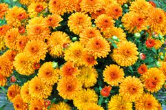 Fundo amarelo da flor Foto de Stock Royalty Free