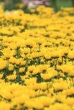 Fundo amarelo da flor Imagem de Stock Royalty Free