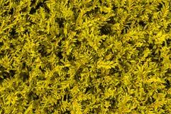 Fundo amarelo da grama Imagem de Stock Royalty Free