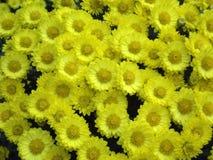 Fundo amarelo das flores da flor do crisântemo fotografia de stock