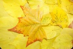 Fundo amarelo das folhas caídas Fotografia de Stock Royalty Free