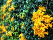 Fundo amarelo das folhas da flor e do verde Imagens de Stock