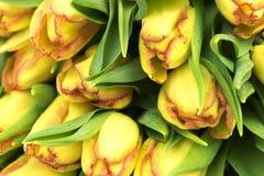 Fundo amarelo das tulipas Apenas chovido sobre fotos de stock royalty free