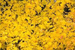 Fundo amarelo de muitas folhas de bordo imagem de stock royalty free
