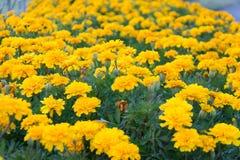 Fundo amarelo do campo de flor Foto de Stock
