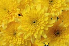 Fundo amarelo do crisântemo da flor Imagem de Stock Royalty Free