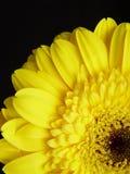 Fundo amarelo do preto da margarida do Gerbera Fotos de Stock Royalty Free