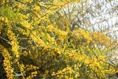 fundo amarelo do ramo da flor da acácia da árvore da mimosa imagem de stock royalty free