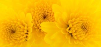 Fundo amarelo dos crisântemos fotos de stock royalty free