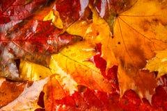 Fundo amarelo e alaranjado do outono com folhas de bordo Fotos de Stock Royalty Free