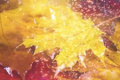 Fundo amarelo e alaranjado do outono com folhas de bordo Imagens de Stock