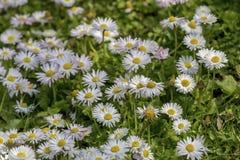 Fundo As margaridas brancas dos wildflowers em um prado imagem de stock