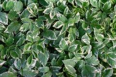 Fundo assim chamado das folhas do verde da bispo-erva daninha do podagraria de Aegopodium fotografia de stock royalty free