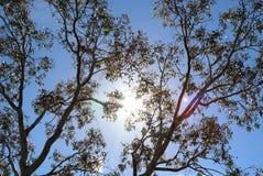 Fundo australiano da árvore de goma Imagens de Stock Royalty Free
