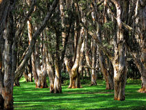 Fundo australiano da floresta Foto de Stock Royalty Free