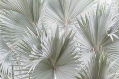 Fundo azul da palmeira de Bismarck Fotografia de Stock Royalty Free