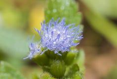 fundo azul do azul da flor e da água da gota fotografia de stock royalty free