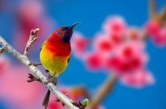 Fundo azul do pássaro vermelho empoleirado nos ramos Sakura imagem de stock