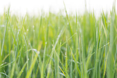 Fundo blured do verde de grama fotografia de stock royalty free