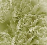 Fundo bonito branco-verde do vintage floral Composição da flor Ramalhete das flores da luz - rosas verdes Close-up foto de stock
