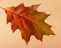 Fundo bonito com as folhas de outono do carvalho atrás do vidro coberto com os pingos de chuva imagem de stock