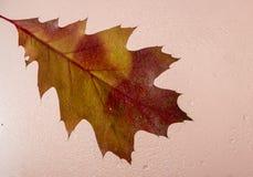 Fundo bonito com as folhas de outono do carvalho atrás do vidro coberto com os pingos de chuva fotografia de stock