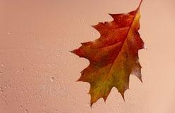 Fundo bonito com as folhas de outono do carvalho atrás do vidro coberto com os pingos de chuva fotos de stock royalty free