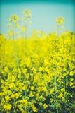 Fundo bonito com a colza amarela do campo de flores na flor Fotografia de Stock