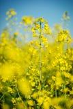 Fundo bonito com a colza amarela do campo de flores na flor Fotografia de Stock Royalty Free